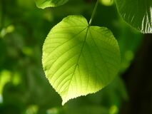 Green Leaf Plant royalty free stock images