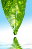 Green leaf of a plant above water Royalty Free Stock Image