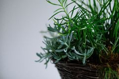 Green Leaf Plant in Basket Stock Photography