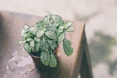 Green Leaf Plant on Brown Pot Above Wooden Table Royalty Free Stock Photo