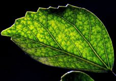 Green Leaf of a plant. A dark green leaf of a plant with a closeup and black background Stock Images