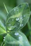 Green leaf plant with drops of dew Stock Photo