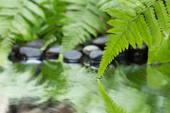 Green leaf of plant with fern and pebble on water Stock Photos