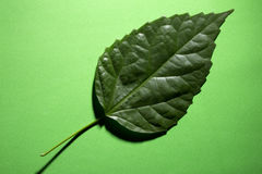 Green leaf of a plant on a green. Background Royalty Free Stock Photography