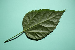 Green leaf of a plant on a green. Background Stock Image