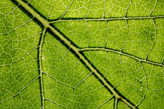 Green leaf. The green leaf of a plant is illuminated by a sunlight stock photo