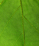 Green leaf of a plant macro close up. Abstract green leaf texture for background royalty free stock photography