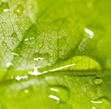 Green leaf on a plant in nature. Macro Royalty Free Stock Image
