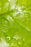 Green leaf on a plant in nature. Macro Royalty Free Stock Images