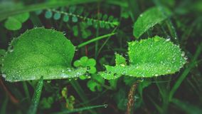 Green Leaf Plant With Raindrops Royalty Free Stock Photography