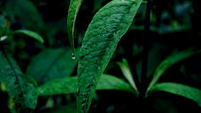 Green Leaf Plant With Raindrops Royalty Free Stock Image