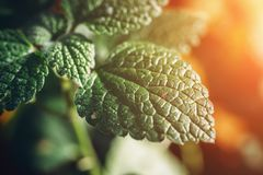 Green leaf plant in sunlight , foliage background. Macro photo, selective focus royalty free stock image