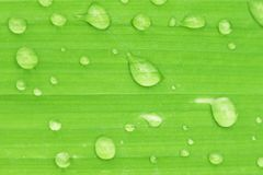Green leaf of plant with water drops close up. Fresh abstract background Royalty Free Stock Images