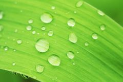 Green leaf of plant with water drops close up. Fresh abstract background Royalty Free Stock Photo