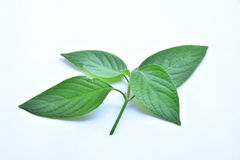 Green leaf of plant on white background. Soft focus Stock Photos