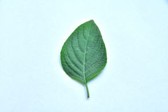 Green leaf of plant on white background. Soft focus Royalty Free Stock Images