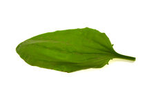 Green leaf of a plantain Stock Photography