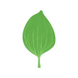 Green leaf of plantain vector Illustration. On a white background Royalty Free Stock Photography