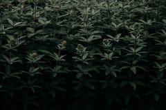 Green Leaf Plants Royalty Free Stock Photo