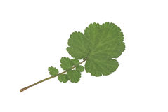 Green leaf plants. Green leaf plant on white background Royalty Free Stock Photo