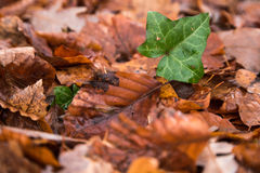 A green leaf poking through a see of brown leaves Stock Photo