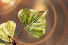 Green leaf of a poplar closeup Royalty Free Stock Photography