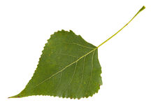 Green leaf of poplar tree isolated on white background Stock Images