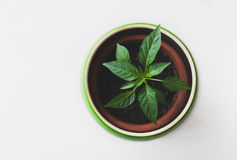 Green Leaf Potted Plant Royalty Free Stock Photos