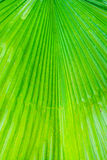 The green leaf of Pritchardia pacifica plant Royalty Free Stock Image