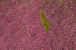 Green leaf and purple lovegrass Royalty Free Stock Image