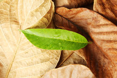 Green leaf put on Dry leaf detail. Royalty Free Stock Image