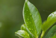 Green Leaf Rain Stock Images