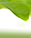Green leaf and a rain-drop Stock Image