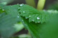 Green leaf rain with several water drops Stock Image