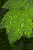 Green leaf with raindrops. A beautiful macro image of a green leaf with large, natural raindrops on it Stock Photo