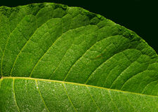 Green leaf with raindrops Stock Photo