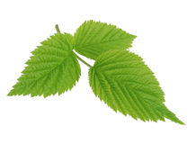 Green leaf of raspberry isolated on white Stock Images