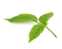 Green leaf of raspberry isolated on white Royalty Free Stock Photos
