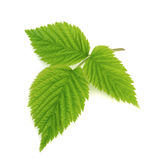 Green leaf of raspberry isolated on white Stock Image