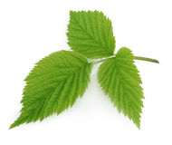 Green leaf of raspberry isolated on white Royalty Free Stock Photography