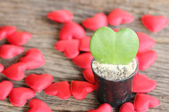 Green leaf and red heart shape in flower pot Royalty Free Stock Photos