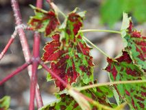 Sweathouse trail head - Victor,mt 5/28/17. Green leaf with red spots taken at sweat-house creek trail head in Victor, Montana Royalty Free Stock Photos