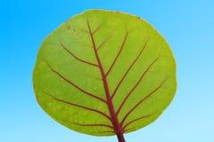 Green leaf with red stem ,  plant leaf. Green leaf with red stem - plant leaf Royalty Free Stock Photos