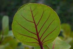 Green leaf with red stem,  plant leaf. Green leaf with red stem - plant leaf Royalty Free Stock Photo