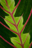 Green leaf with red veins Stock Photos