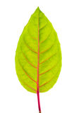 Green leaf with red veins. Closeup royalty free stock photo