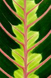 Green leaf with red veins Royalty Free Stock Photography