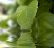 Green leaf reflected on water Royalty Free Stock Image