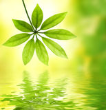Green leaf reflected in water Royalty Free Stock Photos
