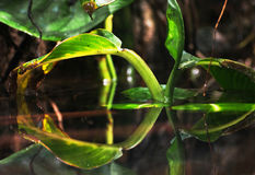 Green leaf reflecting in the water Royalty Free Stock Photos